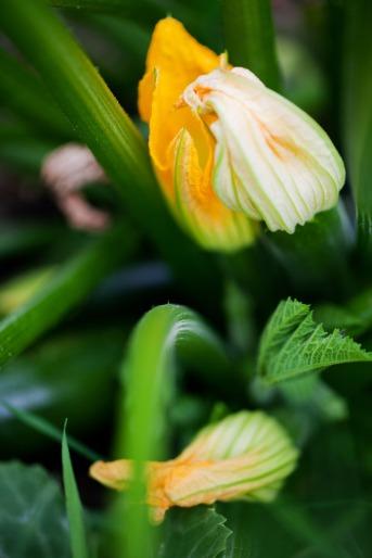 zucchini-flower